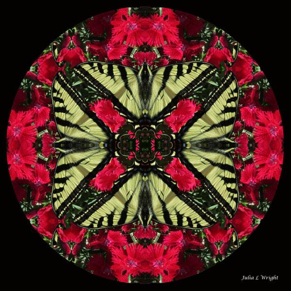 Monarch on Dianthus Kaleidoscope